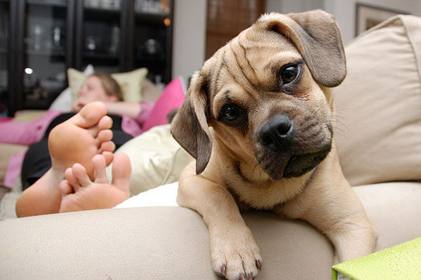 raças de cachorro para apartamento