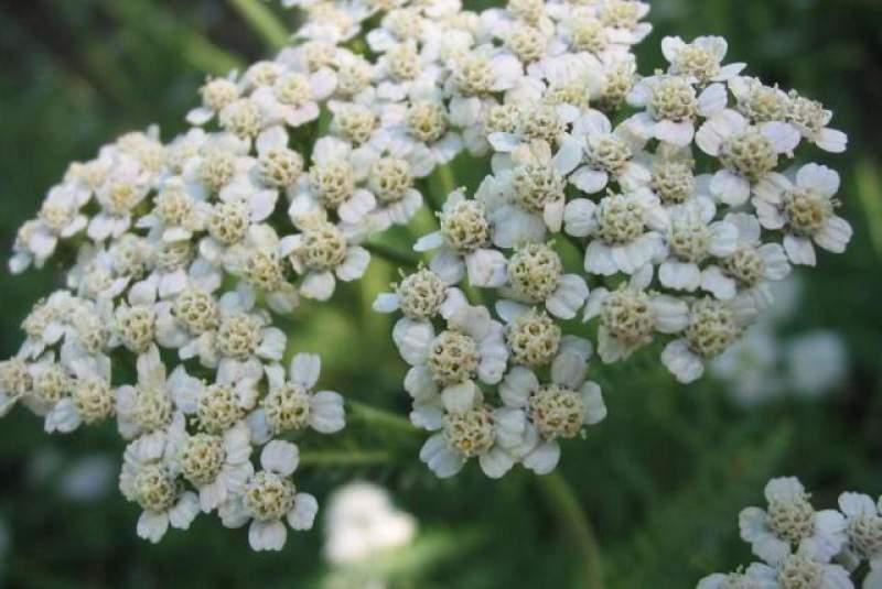 Chá de mil flores é um dos tratamentos para prevenir as varizes