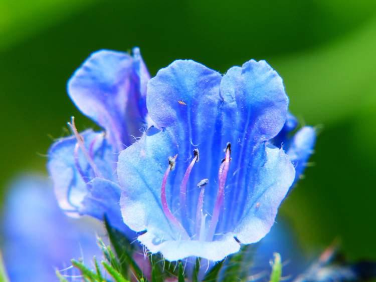 Campânula é uma das Flores Que Suportam o Sol Forte