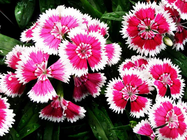 Cravina é uma das Flores Que Suportam o Sol Forte