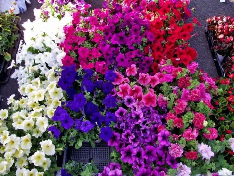 Petúnia é uma das Flores Que Suportam o Sol Forte
