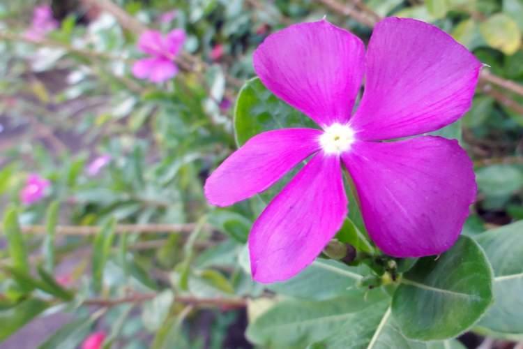 Beijo-Turco é uma das Espécies de Flores para atrair Borboletas ao seu Jardim