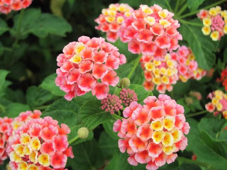 Cambará é uma das Espécies de Flores para atrair Borboletas ao seu Jardim