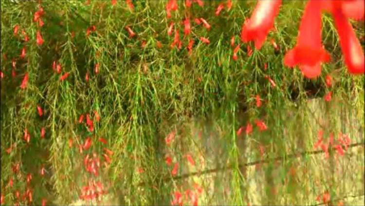 Flor-de-coral é uma das Espécies de Flores para atrair Borboletas ao seu Jardim
