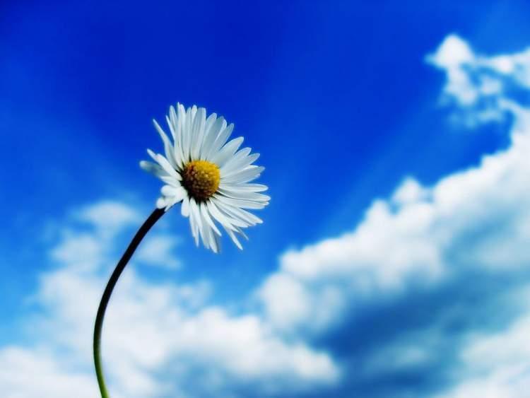 Margarida é uma das Espécies de Flores para atrair Borboletas ao seu Jardim