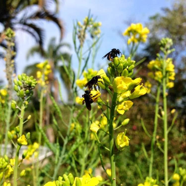 Mostarda é uma das Flores para atrair Borboletas ao seu Jardim