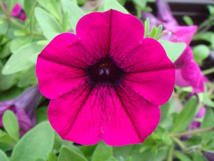 Petúnia é uma das Espécies de Flores para atrair Borboletas ao seu Jardim