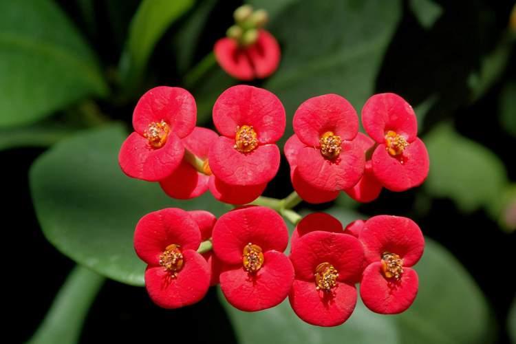 Coroa de Cristo é uma das Plantas para Colocar Dentro de Casa e que Não Precisam de Muita Água