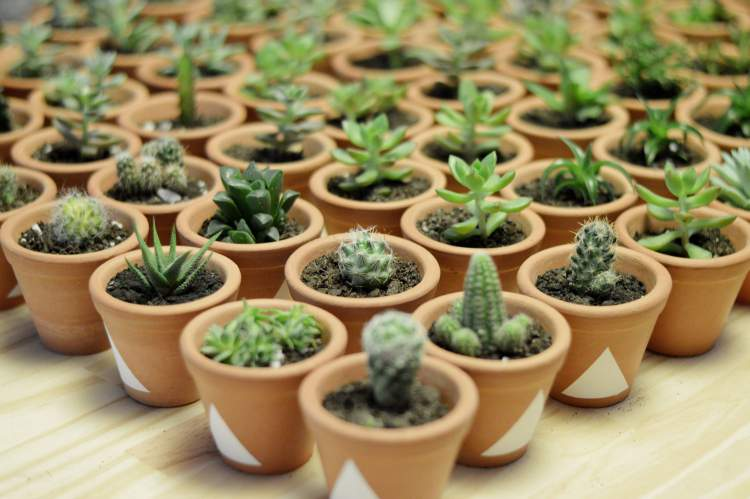 Mini Cacto é uma das Plantas para Colocar Dentro de Casa e que Não Precisam de Muita Água