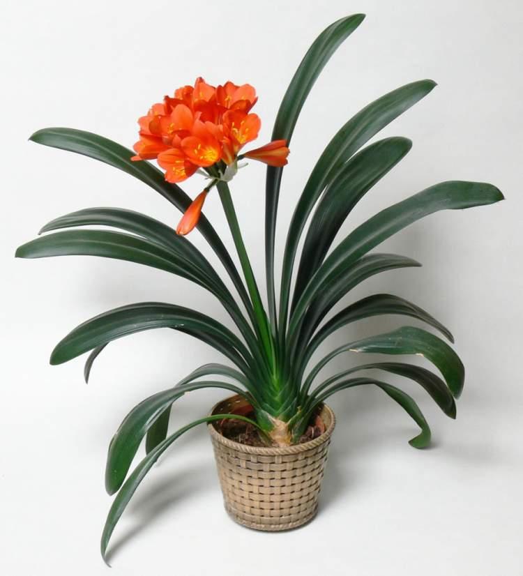 Clívia miniata é uma das plantas perfeitas para decorar o interior da sua casa