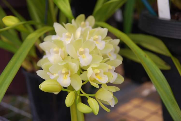 Cymbidium Sarah Jean é uma das plantas perfeitas para decorar o interior da sua casa