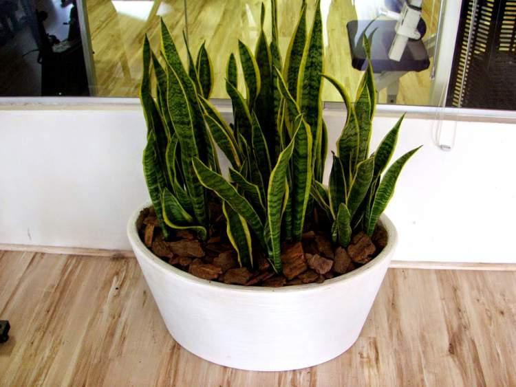 Espada de São Jorge é uma das plantas perfeitas para decorar o interior da sua casa