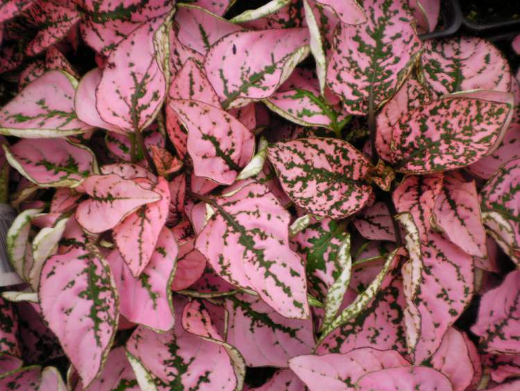 Hypoestes é uma das plantas perfeitas para decorar o interior da sua casa