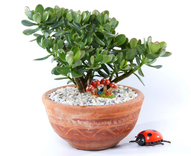 Jade é uma das plantas perfeitas para decorar o interior da sua casa