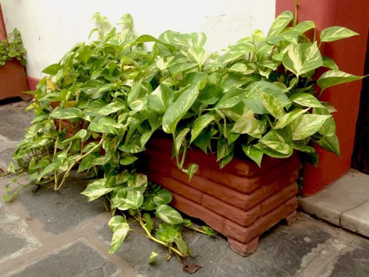 Jiboia é uma das plantas perfeitas para decorar o interior da sua casa