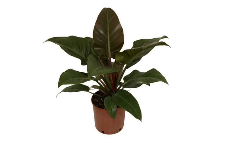 Philodendrons é uma das plantas perfeitas para decorar o interior da sua casa