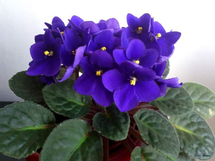 Violeta africana é uma das plantas perfeitas para decorar o interior da sua casa
