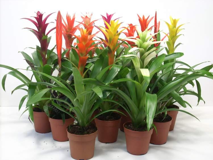Bromélia é uma das plantas para decorar o apartamento com muita elegância e bom gosto
