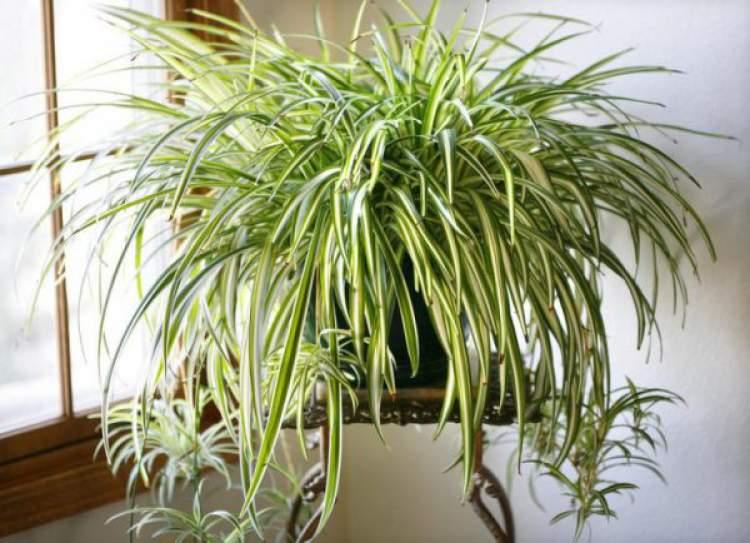 Comedórea Elegante é uma das plantas para decorar o apartamento