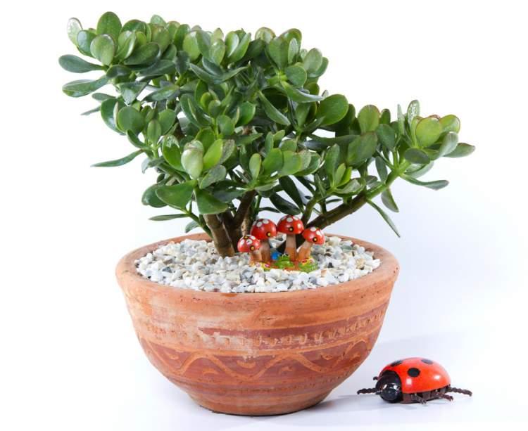 Jade é uma das plantas para decorar o apartamento com muita elegância e bom gosto