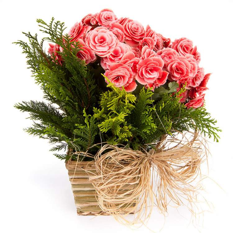 Begônia é uma das plantas para decorar o apartamento com muita elegância e bom gosto