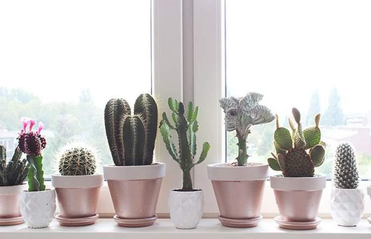 Mini-cacto é uma das plantas para decorar o apartamento com muita elegância e bom gosto