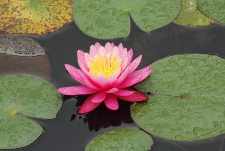 Ninfeia Rosa é uma das plantas decorativas que você pode cultivar em um copo com água