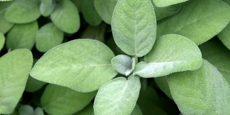 Sálvia é uma das plantas decorativas que você pode cultivar em um copo com água