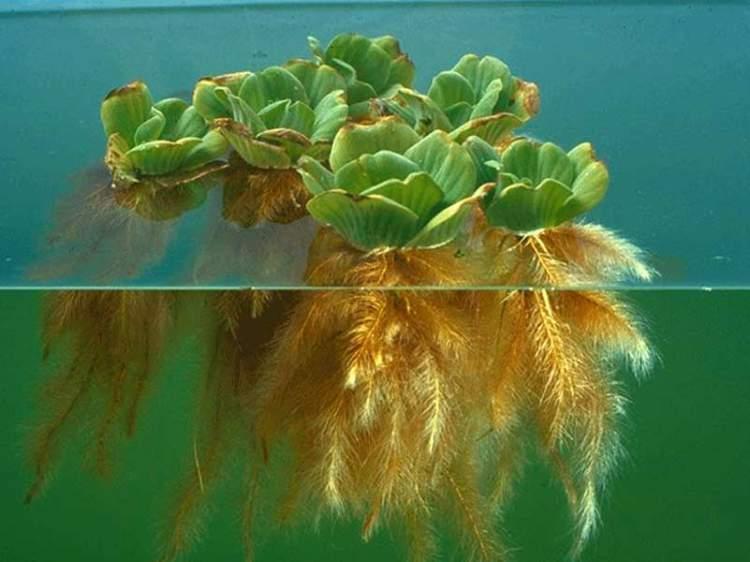 Alface d'água é uma das plantas decorativas que você pode cultivar em um copo com água