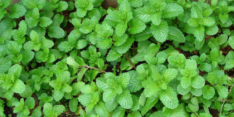 Hortelã-pimenta é uma das plantas decorativas que você pode cultivar em um copo com água