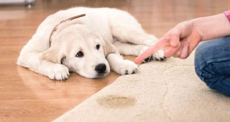 Aprenda fazer um repelente caseiro para que o cão não faça xixi aonde não deveria