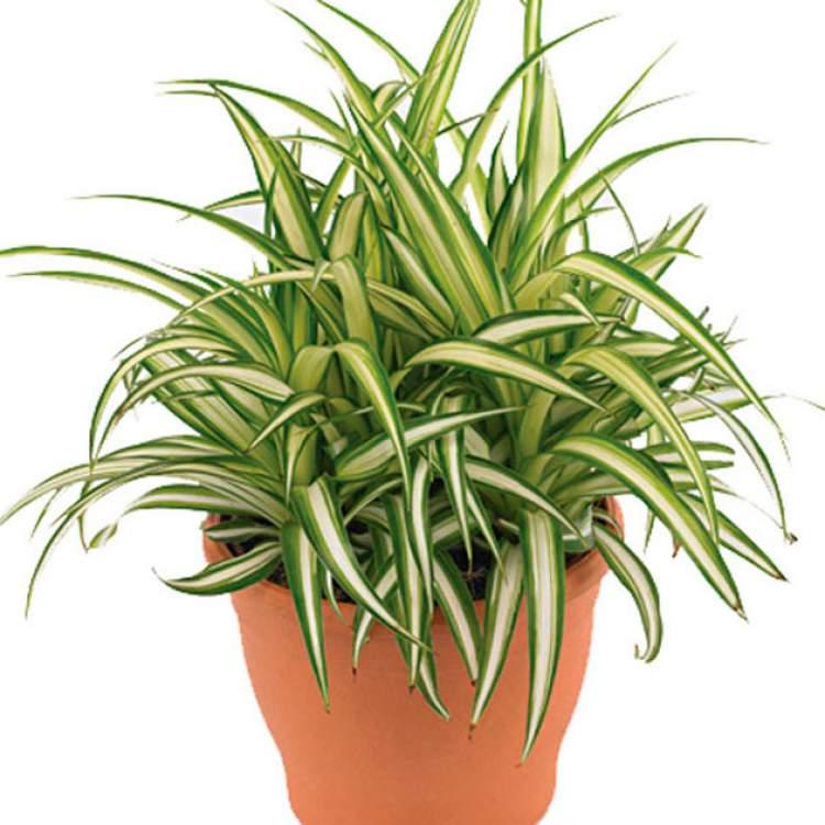 Clorofito é uma das plantas que podem ser cultivadas no escritório para reduzir o estresse
