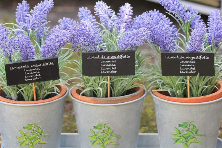 Lavanda é uma das plantas que podem ser cultivadas no escritório para reduzir o estresse