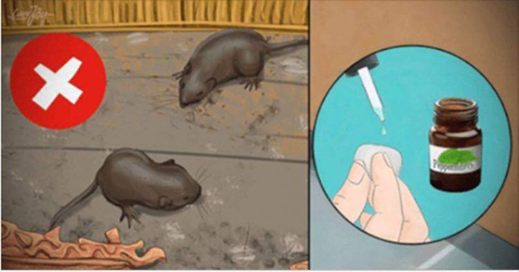 Truques caseiros para afastar os ratos de sua casa