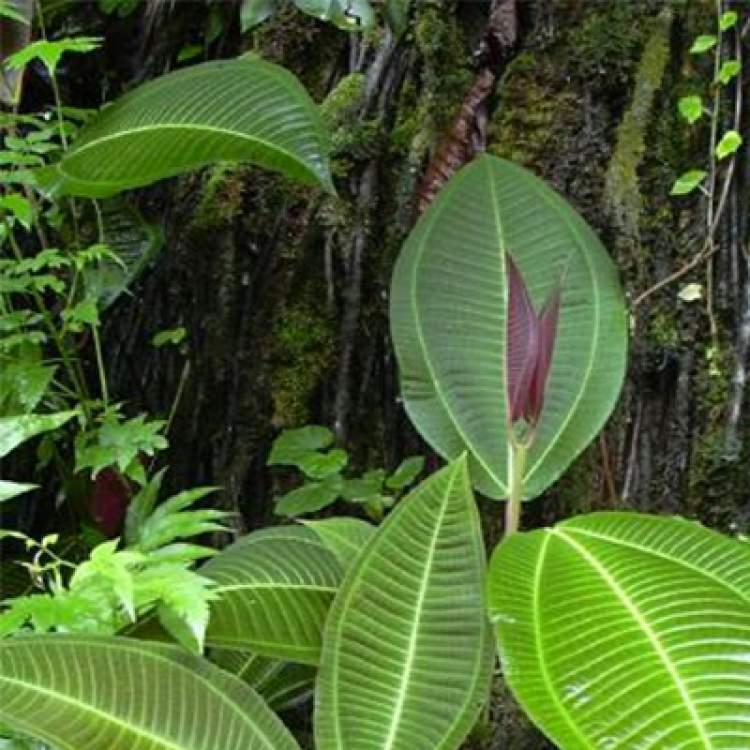 Miconia Albicans é encontrado de maneira abundante no nordeste brasileiro