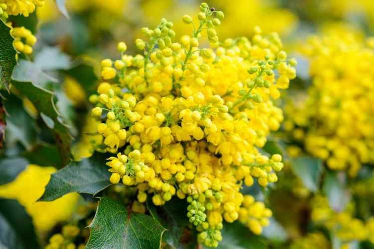 Mahonia é uma das plantas que suportam o clima frio