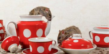 Como acabar com ratos